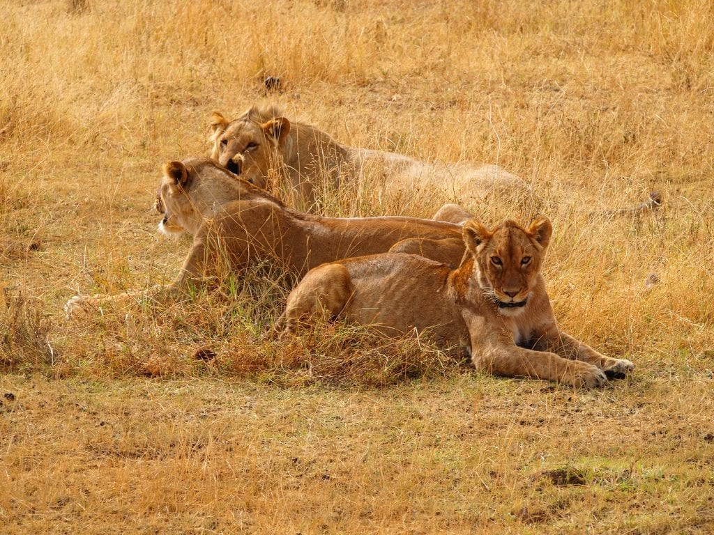 Lions chilling out in the afternoon sun in the Ngorongoro Crater, Tanzania