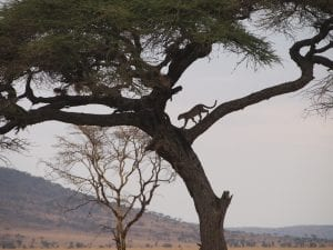 Leopards in a tree after a lunchtime snooze