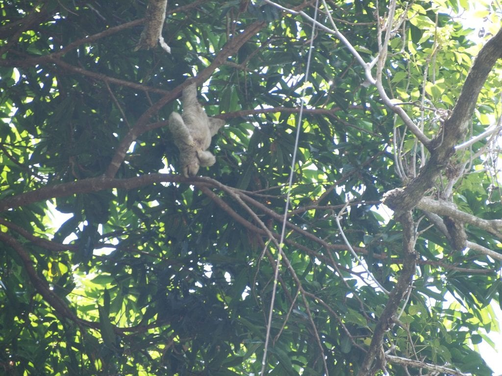Sloth hanging upside down from a tree and having a good scratch, Manuel Antonio National Park, Costa Rica