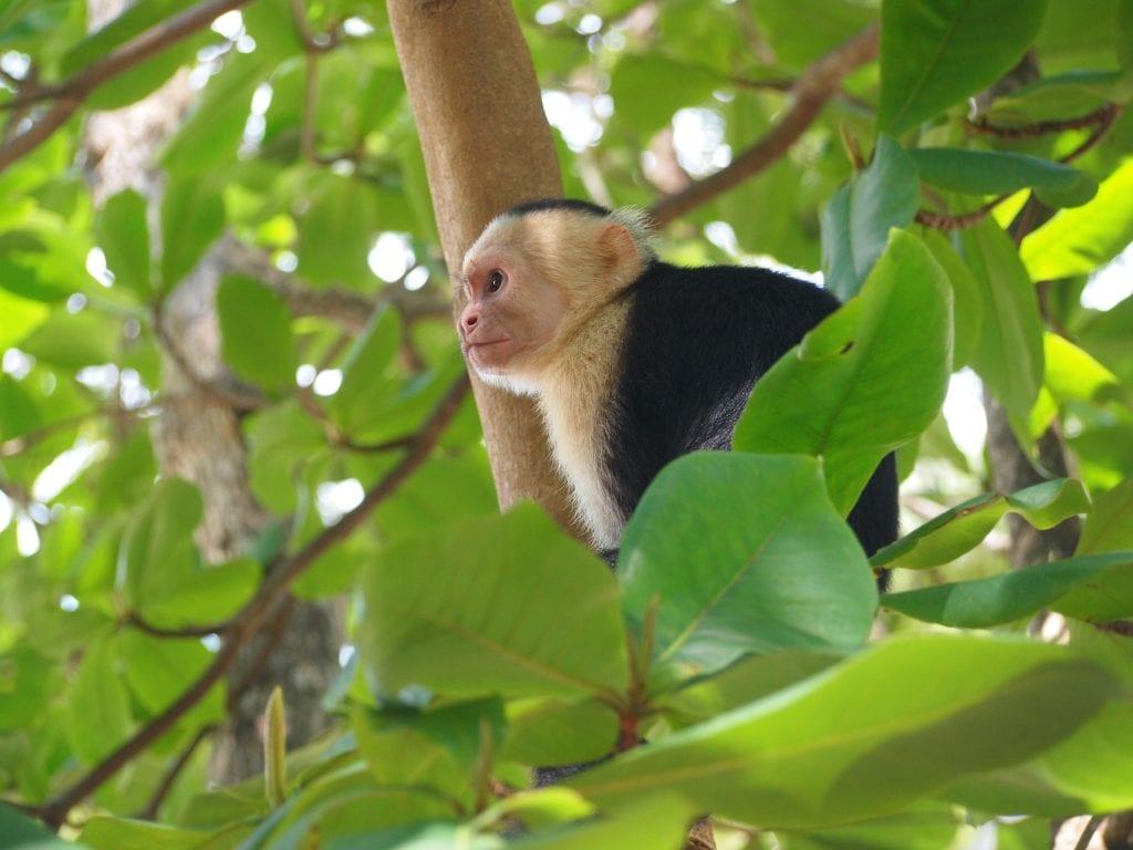 Capuchin monkey sitting in a tree in Manuel Antonio National Park, Costa Rica