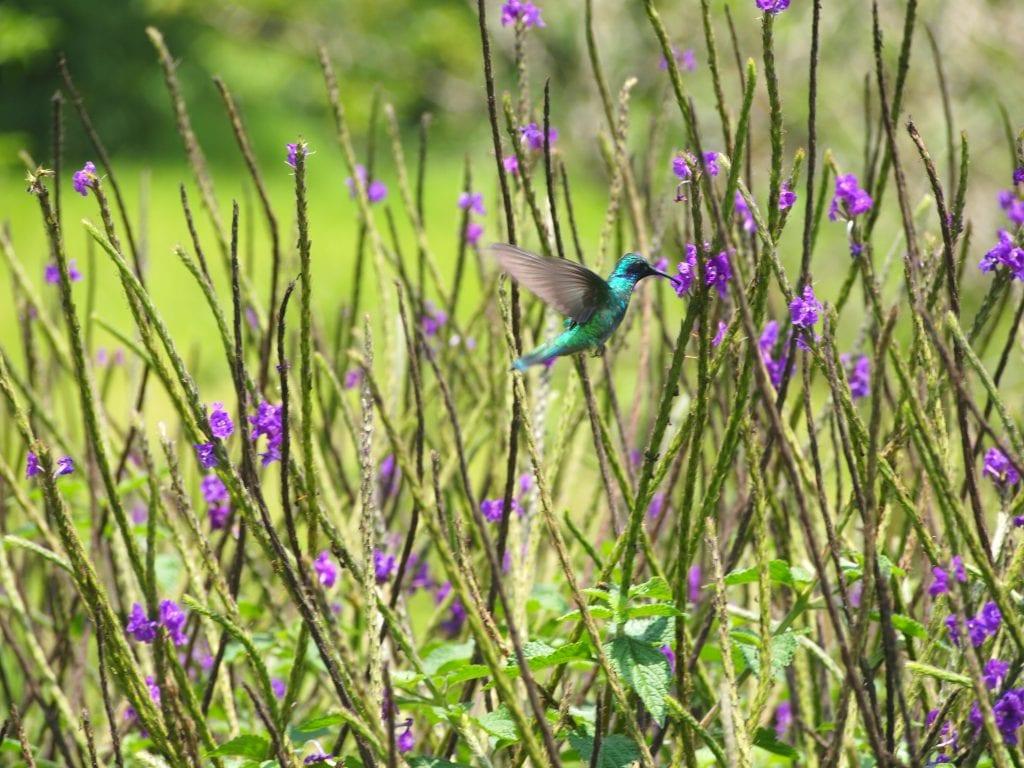 Green hummingbird among purple flowers in Santa Elena, Costa Rica
